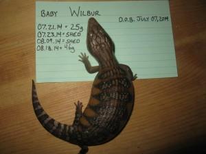 Wilbur 6 Weeks
